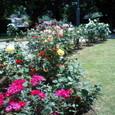 外交官の家 玄関前のバラ